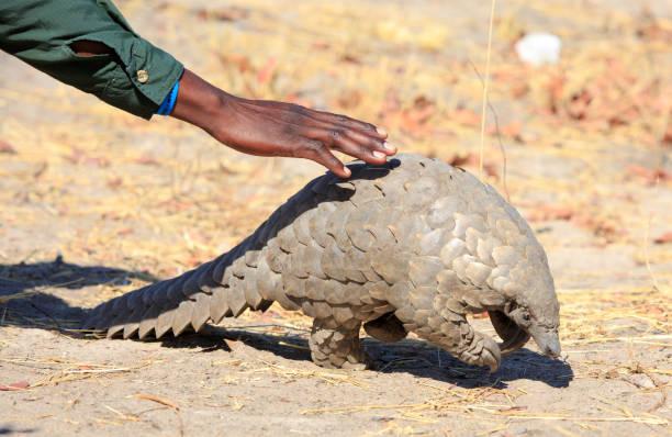 Ein Safari-Guide bückt sich, um eine vom Aussterben bedrohte Pangolin im Hwange National Park zu berühren – Foto