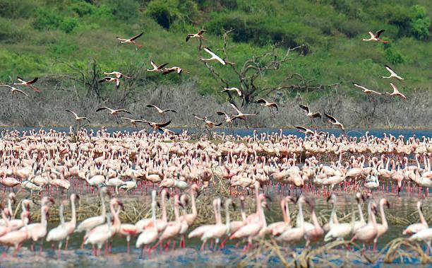 safari in kenya - kenyan culture stock photos and pictures