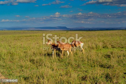 Small group of Coke`s Hartebeest antelope on African plains