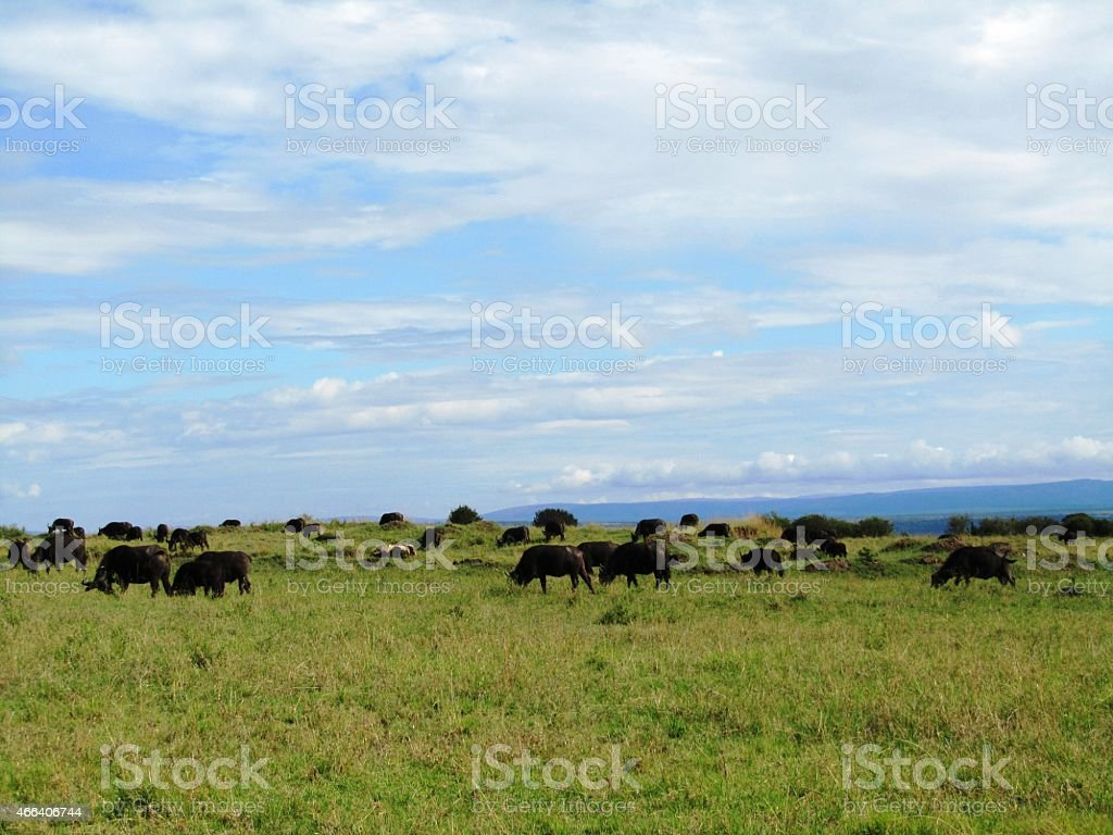 Safari in the beautiful Masai Mara Kenya Africa stock photo