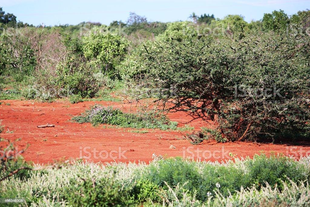 Safari in the beautiful Tsavo West Kenya Africa stock photo
