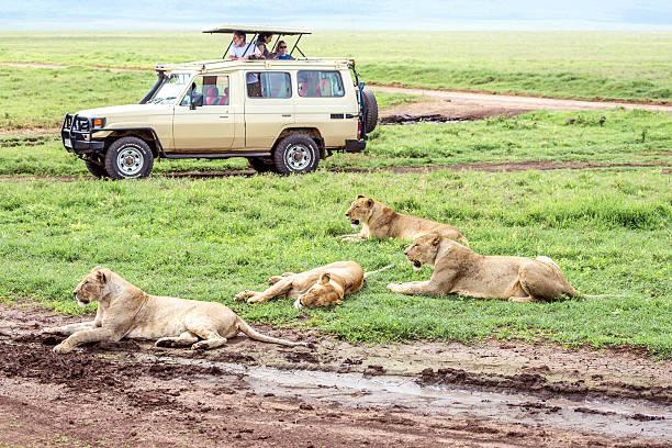 safari lion watching, tansania - afrikanische steppe dürre stock-fotos und bilder