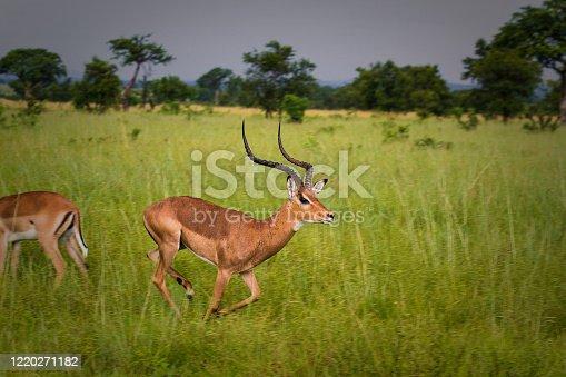 Graceful Impala gazelle in the beautiful Serengeti National Park in Tanzania, Africa