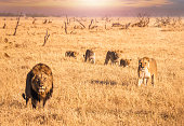 A male lion with a full mane stands and looks directly at the camera, while a lioness and four cubs walk in single file forward through the long dry grass toward him. They are in their natural habitat, looking relaxed and content. The landscape is very dry, with long dry grass and small dead trees in the background.