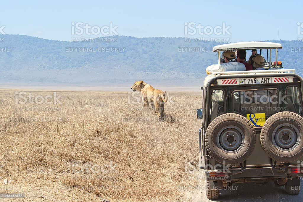 Safari tourists watching a lioness, Ngorongoro Crater, Tanzania royalty-free stock photo