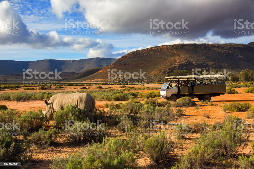 Safari truck and wildlife rhino in Western Cape South Africa stock photo
