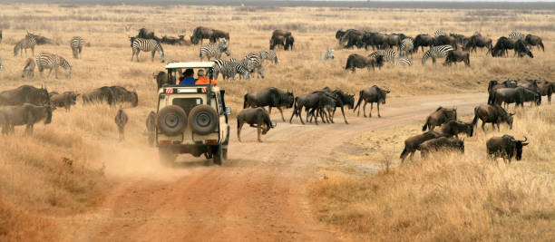 Safari Vehicle Looking at Herd of Wildebeest  ngorongoro conservation area stock pictures, royalty-free photos & images