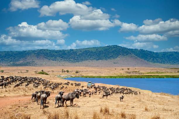 safari-fahrzeuge zwischen großen tierherden, ngorongoro krater, tansania - afrikanische steppe dürre stock-fotos und bilder