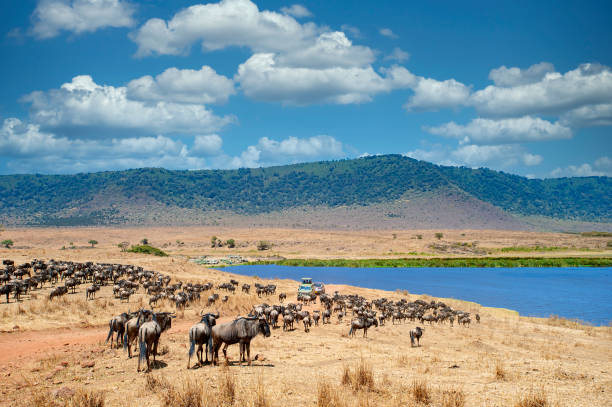 Safari vehicles in between large herds of animals, Ngorongoro Crater, Tanzania stock photo