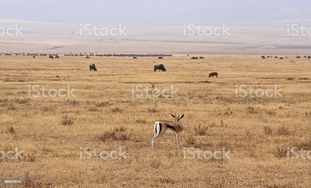 Safari wildlife in Tanzania royalty-free stock photo
