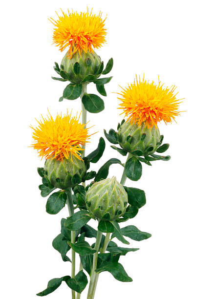 safflower research papers Read recent research on safflower, sunflower, and cotton, journal of the american oil chemists' society on deepdyve, the largest online rental service for scholarly research with thousands of academic publications available at your fingertips.