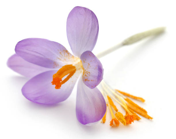Saffron crocus flower Saffron crocus flower over white background saffron stock pictures, royalty-free photos & images