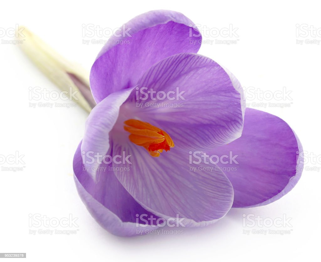 Saffron crocus flower stock photo