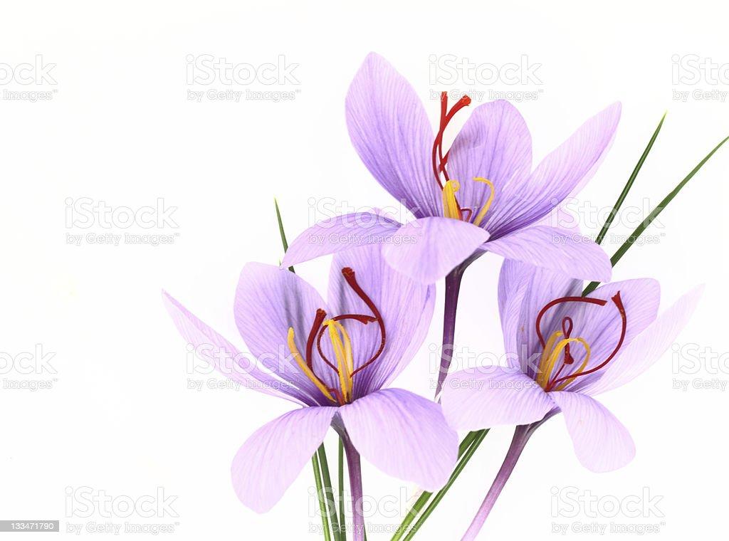Saffron Crocus flowers stock photo