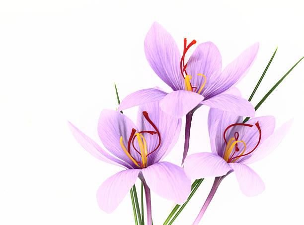 saffron crocus flowers - saffron on white bildbanksfoton och bilder