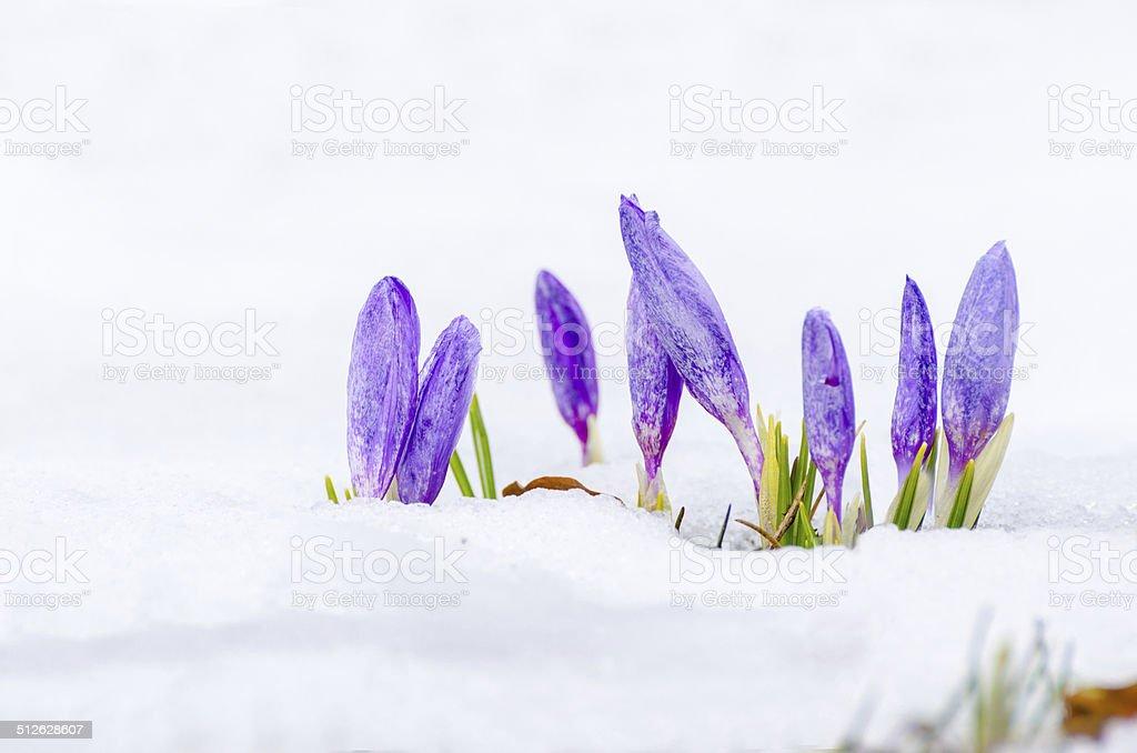 saffron crocus over snow first spring flower closeup stock photo
