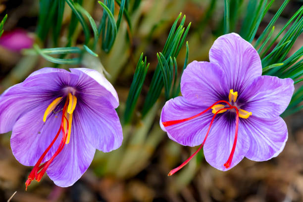 Saffron crocus sativus purple flowers Saffron is a spice derived from the flower of Crocus sativus. The vivid crimson stigmas and styles, called threads, are collected to be used mainly as a seasoning agent in food. It is among the world's most costly spices by weight. saffron stock pictures, royalty-free photos & images