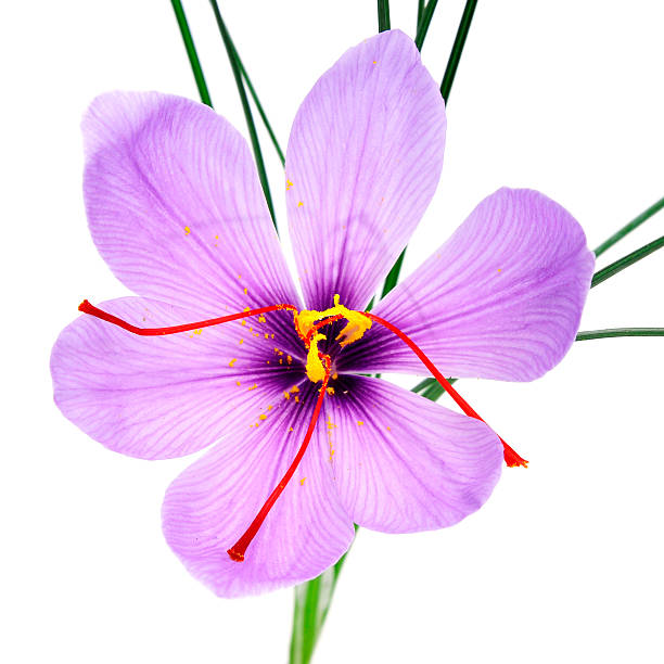 saffron flower a saffron flower on a white background saffron stock pictures, royalty-free photos & images