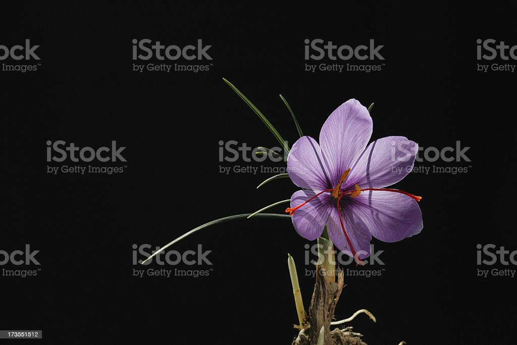 Saffron Flower stock photo