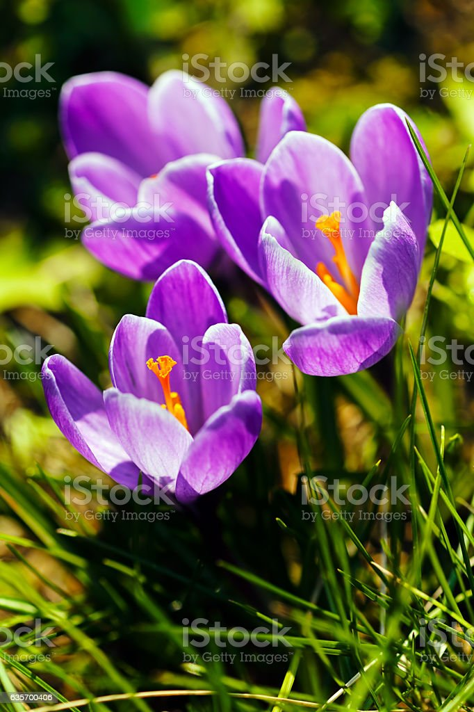 saffron flower royalty-free stock photo