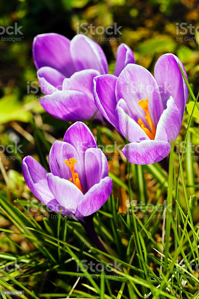 saffron flower royalty-free stock photo