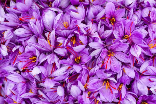 수확 후 사프란 꽃 보기를 닫습니다. - 꽃밥 뉴스 사진 이미지