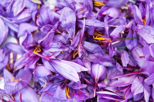 수확 후 사프란 꽃 닫기 보기 - 꽃밥 뉴스 사진 이미지