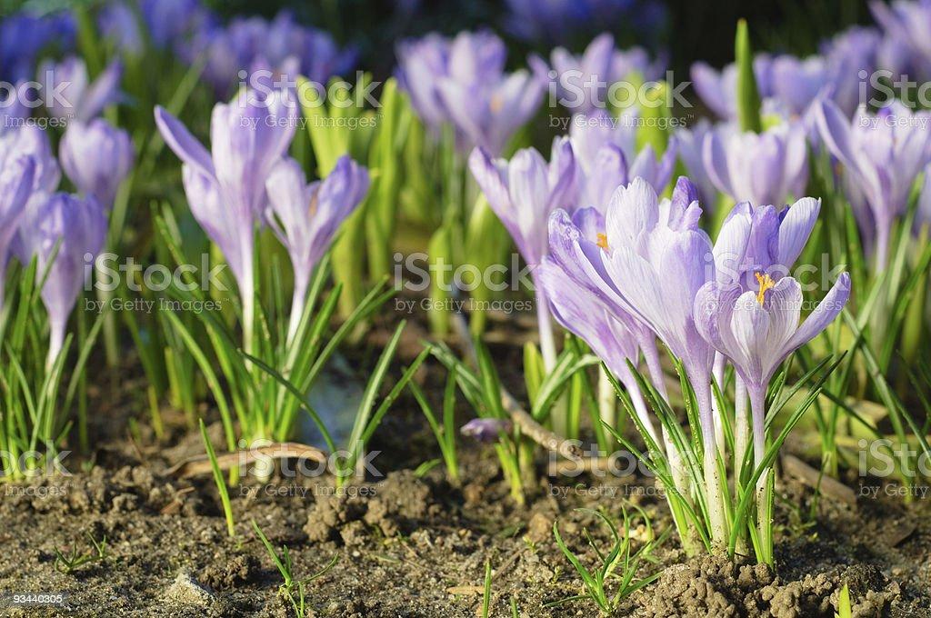 Saffron Blumen auf Boden-spring-symbol Lizenzfreies stock-foto