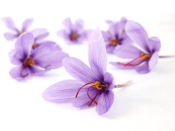 1297e554ae83b Top 60 Saffron Crocus Stock Photos, Pictures, and Images - iStock