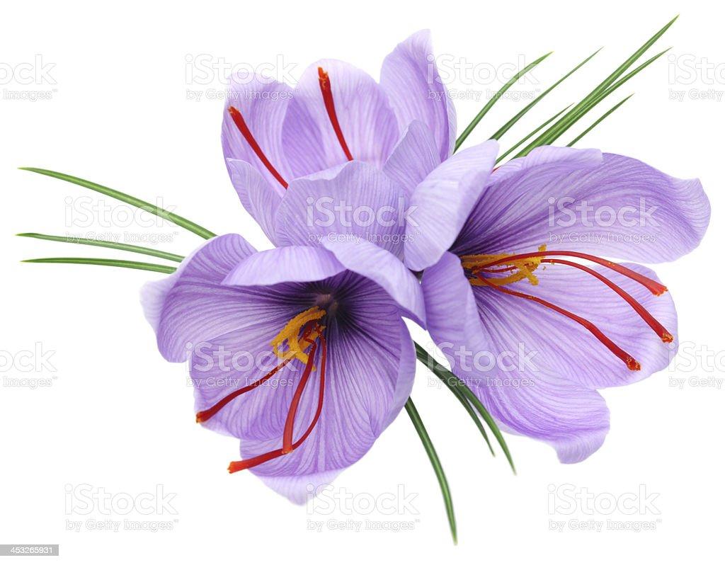 saffron flowers stock photo