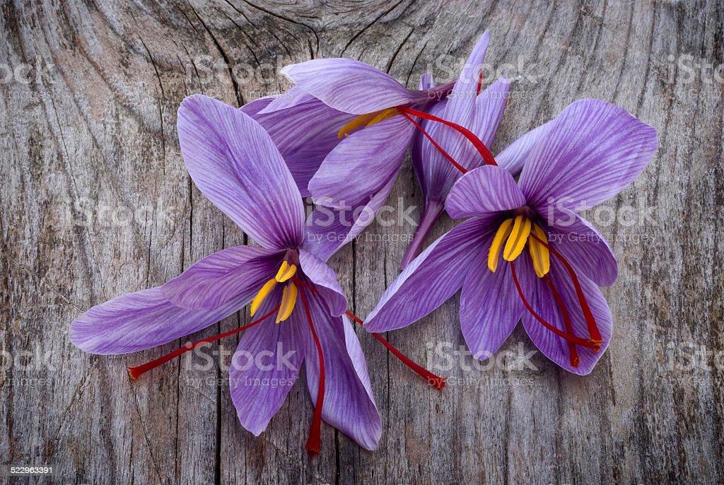 Saffron flowers (Crocus sativus) stock photo