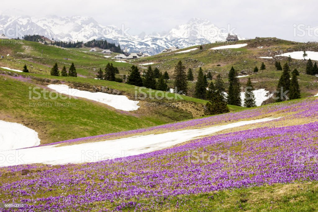 Saffrons in Bergen - Lizenzfrei Anhöhe Stock-Foto