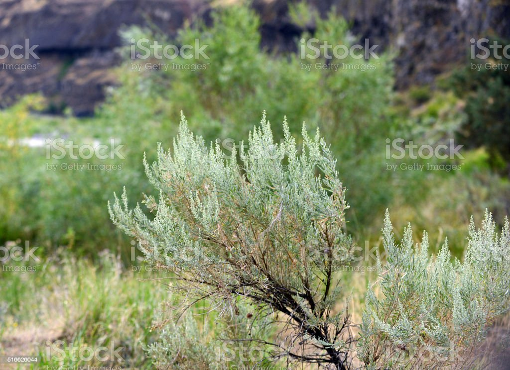sage brush plant against landscape stock photo