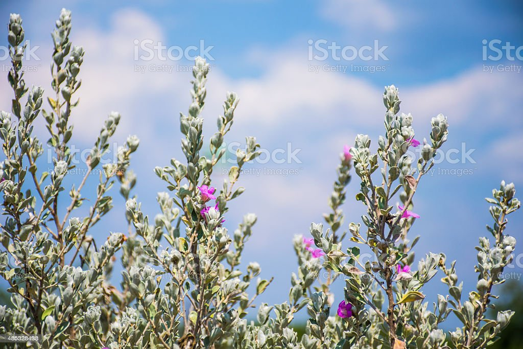 Sage Brush with Pink Flowers stock photo