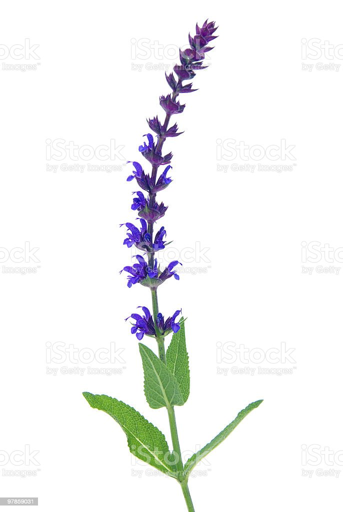 sage flower isolated royalty-free stock photo
