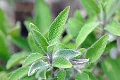 Sage (Salvia)  herbal plant growning in a flowerbed. fullframe.