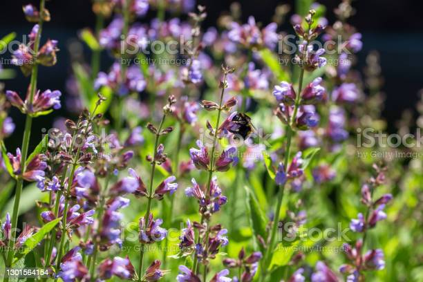 Photo of Sage in bloom, fluffy bumblebee on purple flowers. Beautiful  summer garden. Bright sunny natural background.