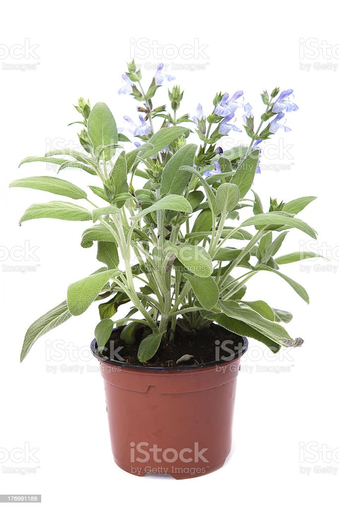 sage in the pot stock photo