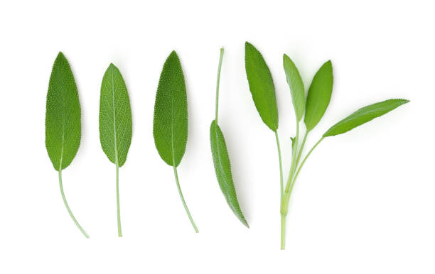 sage leaf isolated on white background, top view, flat lay – zdjęcie