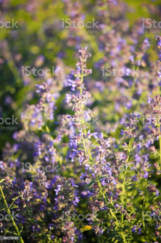 Sage or salvia officinalis in bloom royalty-free stock photo