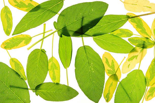 Sage (Salvia officinalis) – Foto
