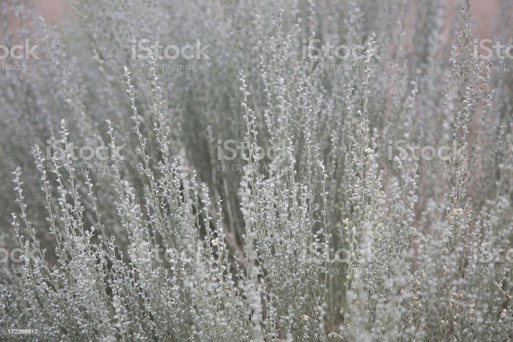 Sage (horizontal) stock photo