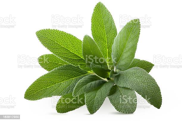 Sage. To see more Leaves images click on the link below: