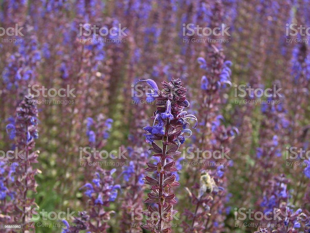 Salbei-Salvia farinacea Lizenzfreies stock-foto