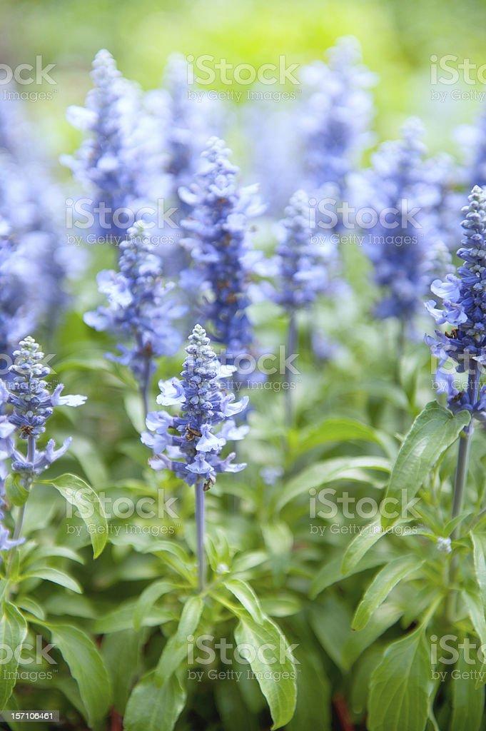 Sage - Salvia Mystic Spires Blue Balsalmisp royalty-free stock photo