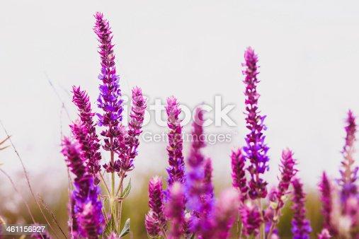 sage salvia plant purple flower garden nature leaf green blossom medicine bloom
