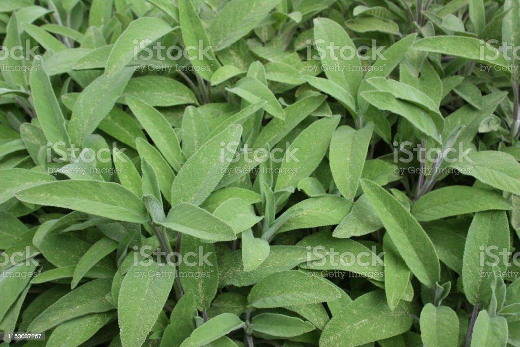 Sage  Spring season - Foto stock royalty-free di Artemisia tridentata