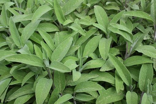 Sage Spring Season - Fotografie stock e altre immagini di Artemisia tridentata