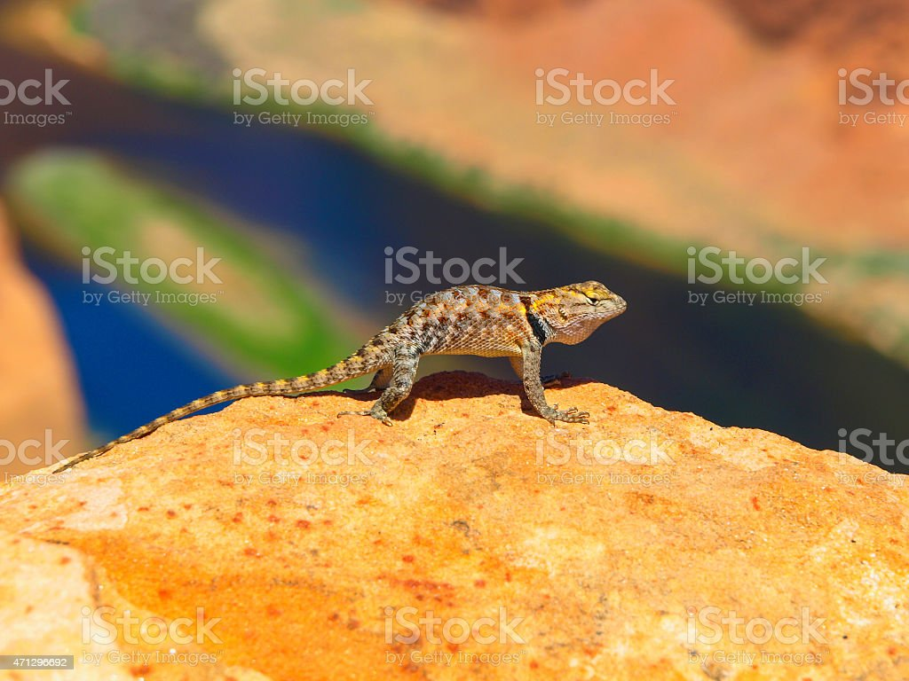 Sagebrush lizard on the rock stock photo