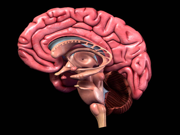 Sagittal Section of Human Brain 3D Computer Graphic Image with detailed side view of human brain parts on black background. cerebellum stock pictures, royalty-free photos & images